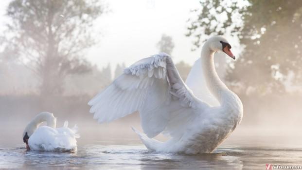 Swan wallpapers by Twalls