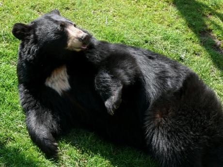black_bear-27527